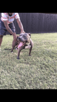 American Bully Puppies for sale in Quail Run Rd, Arlington, TX 76014, USA. price: NA