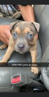 American Bully Puppies for sale in Tulsa, OK, USA. price: NA