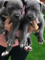 American Bully Puppies for sale in Denver, CO, USA. price: NA