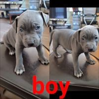 American Bully Puppies for sale in Phoenix, AZ, USA. price: NA