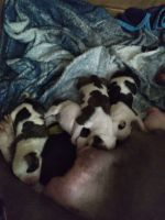 American Bully Puppies for sale in Newark, NJ 07103, USA. price: NA