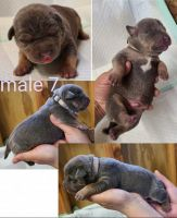 American Bully Puppies for sale in Dobson, NC 27017, USA. price: NA