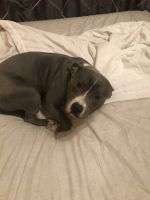 American Bully Puppies for sale in Fort Worth, TX 76161, USA. price: NA