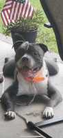 American Bully Puppies for sale in 55 Huckaba Rd, Defuniak Springs, FL 32435, USA. price: NA