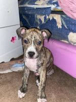 American Bully Puppies for sale in Chicago, IL 60607, USA. price: NA