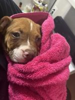 American Bully Puppies for sale in Ypsilanti, MI, USA. price: NA