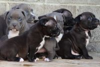 American Bully Puppies for sale in Ventura, CA 93003, USA. price: NA