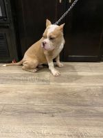 American Bully Puppies for sale in Palmdale, CA 93591, USA. price: NA