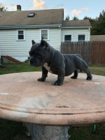American Bully Puppies for sale in North Providence, RI 02911, USA. price: NA