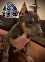 American Bully Puppies for sale in Kissimmee, FL, USA. price: NA