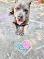 American Bully Puppies for sale in San Antonio, TX, USA. price: NA
