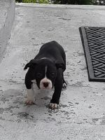 American Bully Puppies for sale in South Side, Chicago, IL, USA. price: NA