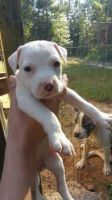 American Bully Puppies for sale in Santa Ana, CA 92705, USA. price: NA