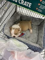 American Bully Puppies for sale in 530 SW 7th St, Florida City, FL 33034, USA. price: NA