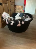 American Bully Puppies for sale in Fort Smith, AR, USA. price: NA