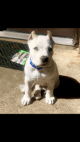 American Bully Puppies for sale in Fort Worth, TX, USA. price: NA