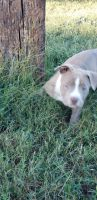 American Bully Puppies for sale in Clinton, AR 72031, USA. price: NA