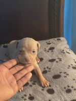 American Bully Puppies for sale in Memphis, TN, USA. price: NA