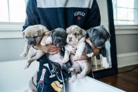 American Bully Puppies for sale in Cleveland Heights, OH, USA. price: NA