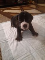 American Bully Puppies for sale in South Bend, IN, USA. price: NA