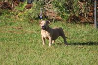 American Bully Puppies for sale in Baxley, GA 31513, USA. price: NA