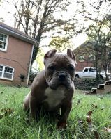 American Bully Puppies for sale in Winston-Salem, NC, USA. price: NA