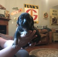 American Bully Puppies for sale in Richmond, KY, USA. price: NA