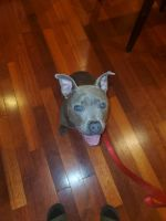 American Bully Puppies for sale in Baltimore, MD, USA. price: NA