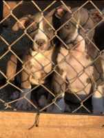 American Bully Puppies for sale in 9330 E Ave T, Littlerock, CA 93543, USA. price: NA