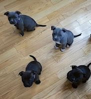American Bully Puppies for sale in Green River, WY 82935, USA. price: NA