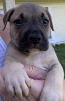American Bully Puppies for sale in North Port, FL, USA. price: NA