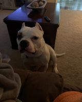 American Bully Puppies for sale in Anderson, SC, USA. price: NA