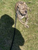 American Bully Puppies for sale in Middletown, NY 10940, USA. price: NA