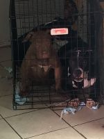American Bully Puppies for sale in Lexington, KY, USA. price: NA