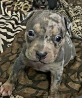 American Bully Puppies for sale in South Jersey, NJ, USA. price: NA