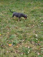 American Bully Puppies for sale in Fort Wayne, IN, USA. price: NA