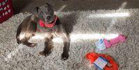 American Bully Puppies for sale in Murfreesboro, TN, USA. price: NA