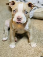American Bully Puppies for sale in Evansville, IN, USA. price: NA