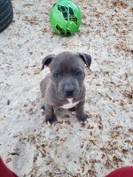 American Bully Puppies for sale in Kerrville, TX 78028, USA. price: NA