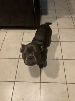 American Bully Puppies for sale in Katy, TX, USA. price: NA