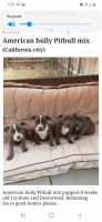 American Bully Puppies for sale in California City, CA 93505, USA. price: NA