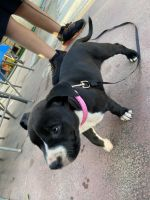 American Bully Puppies for sale in San Diego, CA, USA. price: NA