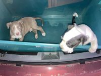 American Bully Puppies for sale in 4343 Shaver St, Pasadena, TX 77504, USA. price: NA