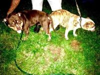 American Bully Puppies for sale in Roanoke, VA, USA. price: NA