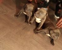 American Bully Puppies for sale in Fort Myers, FL, USA. price: NA