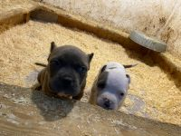 American Bully Puppies for sale in Sanford, FL, USA. price: NA
