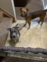 American Bully Puppies for sale in Columbus, OH, USA. price: NA