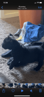 American Bully Puppies for sale in Cincinnati, OH, USA. price: NA