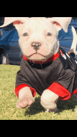 American Bully Puppies for sale in 2813 Cedar St, San Bernardino, CA 92404, USA. price: NA