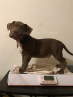 American Bully Puppies for sale in Warner Robins, GA 31088, USA. price: NA